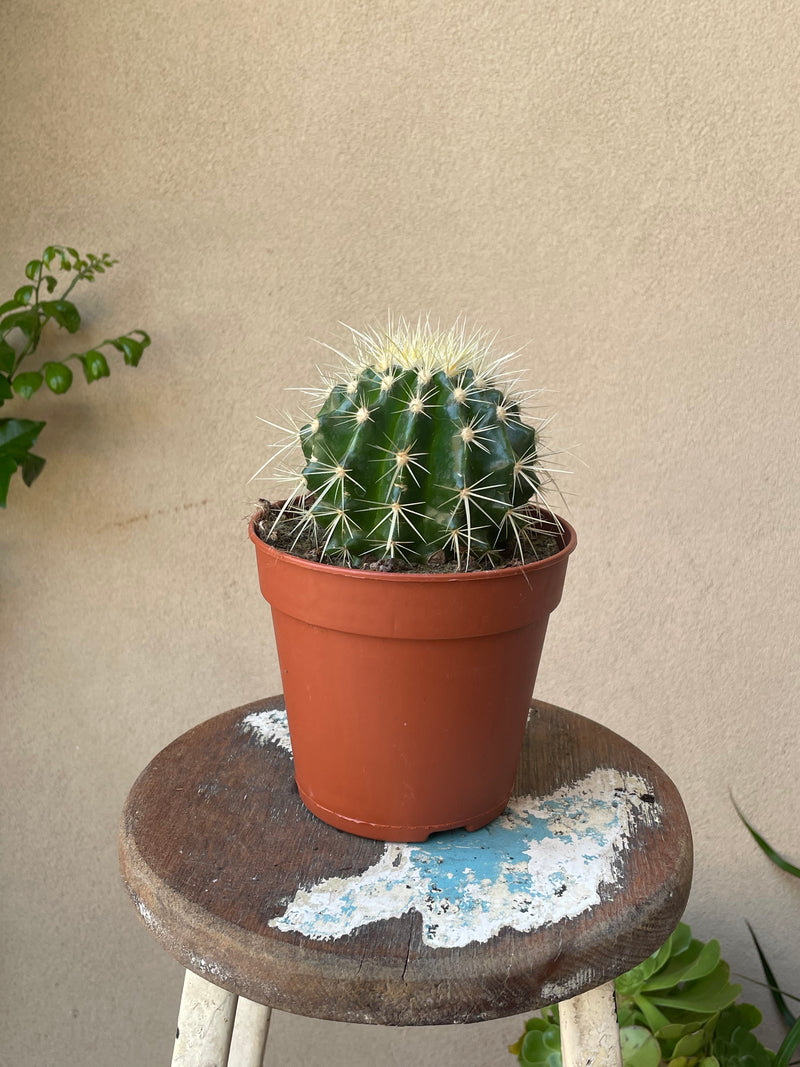 Golden Barrell Cactus 120mm