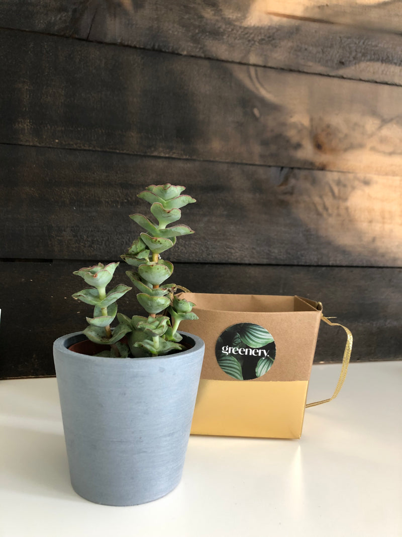 Greenery Australia ECOmini pot is a sustainable pot made from 100% recycled materials. Comes in a small gift box and carry handle. Available in 2 colours. Blue Grey / White Grey Product Dimension.ECOmini 8cm Diameter