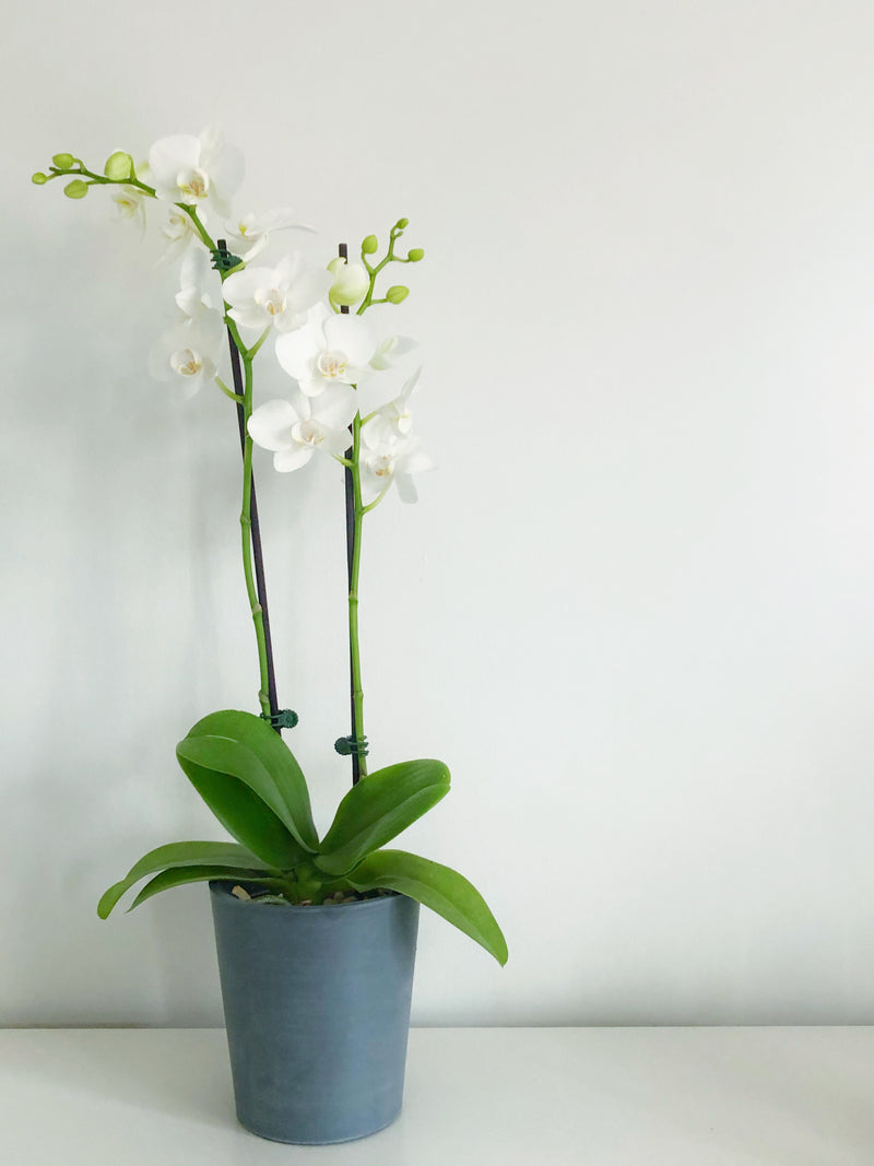 Greenery Australia's Morinda ECOpot is a sustainable plant pot with a raised bed inside, perfect for orchids. Product Dimensions 14cm Outside Diameter, 15cm Height.