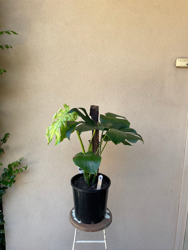 Monstera Deliciosa Totem 200mm