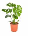 "Greenery Australia's Monstera Deliciosa also know as ""The Swiss Cheese Plant"". Recognised from the distinctive holes in their leaves. This plant is easy to care for when located in the correct position. Pot size. 190mm, 240mm & 300mm."