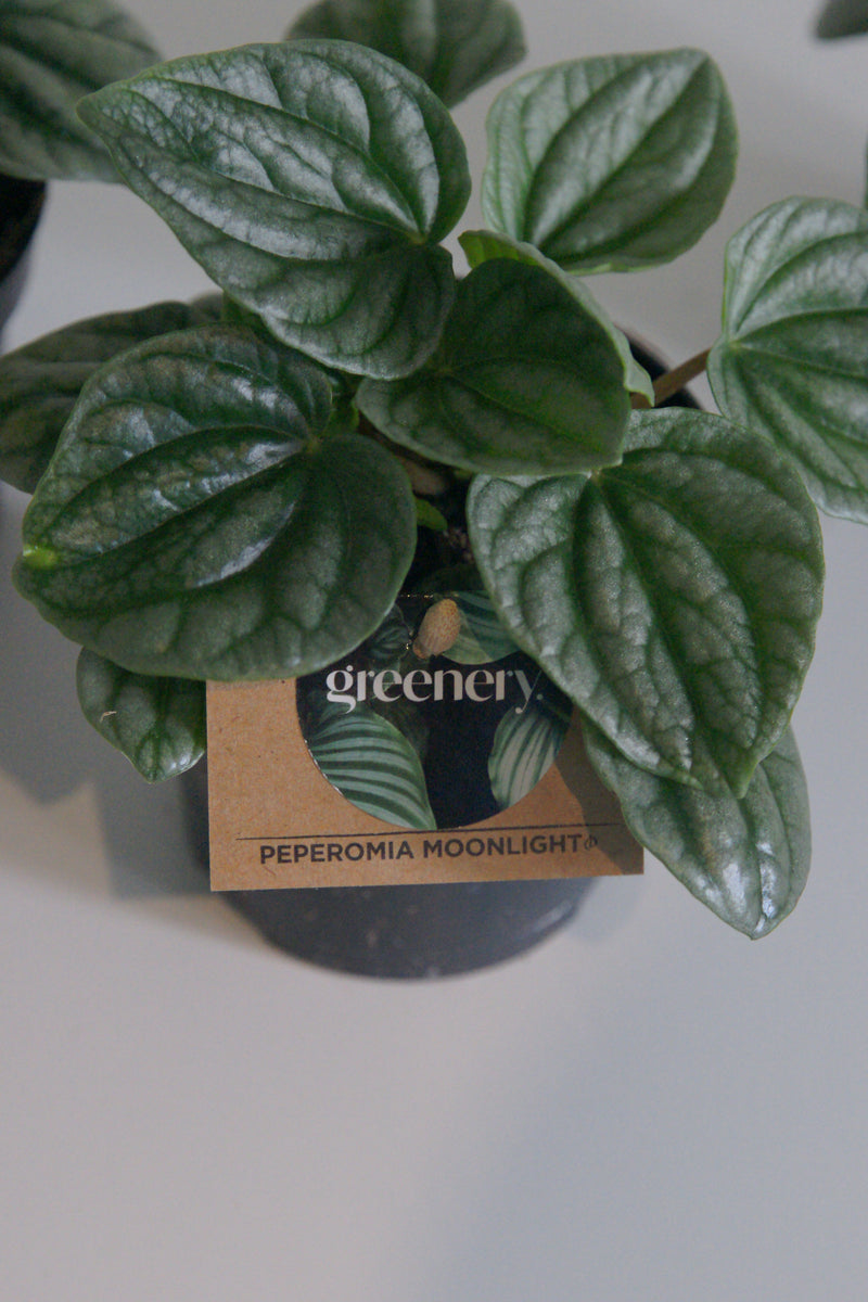 Peperomia Moonlight in 95mm pot