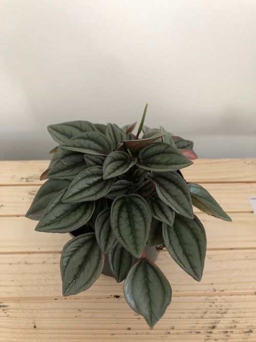 Peperomia Napoli Nights in a 95mm pot