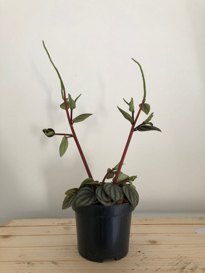 Peperomia piccolo banda in 95mm pot