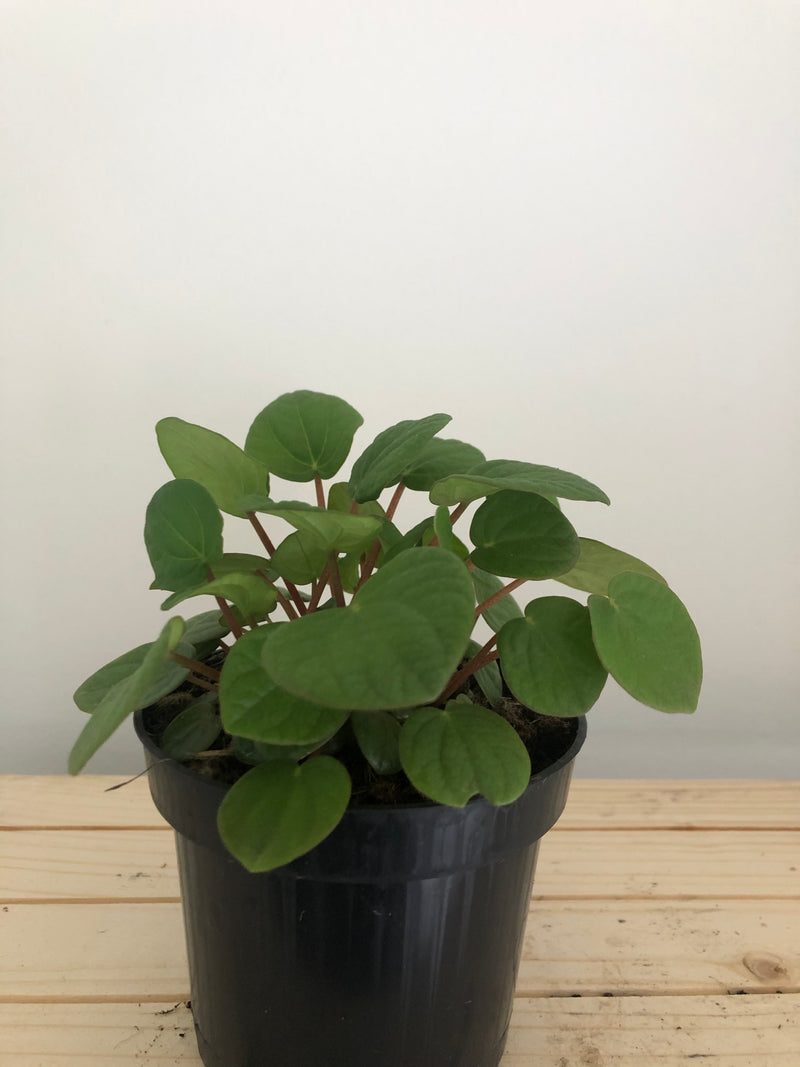 Peperomia Rana Verde in a 95mm pot