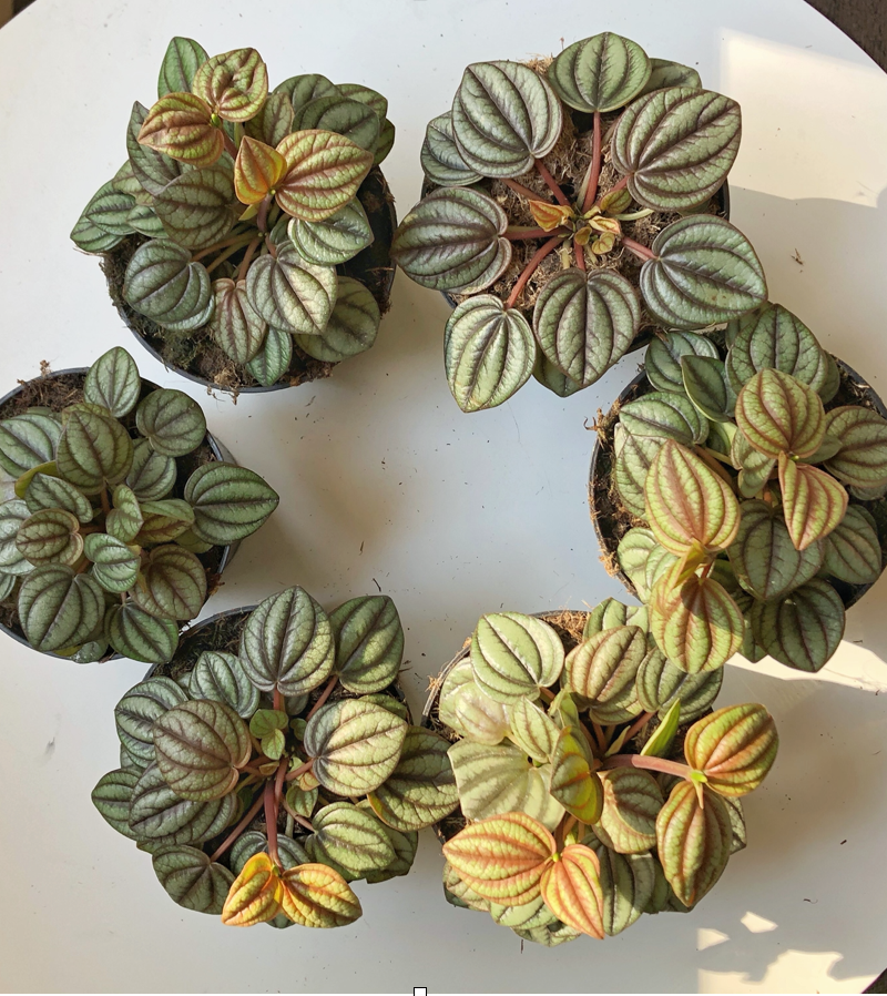 Peperomia Piccolo Banda in a 95mm diameter pot