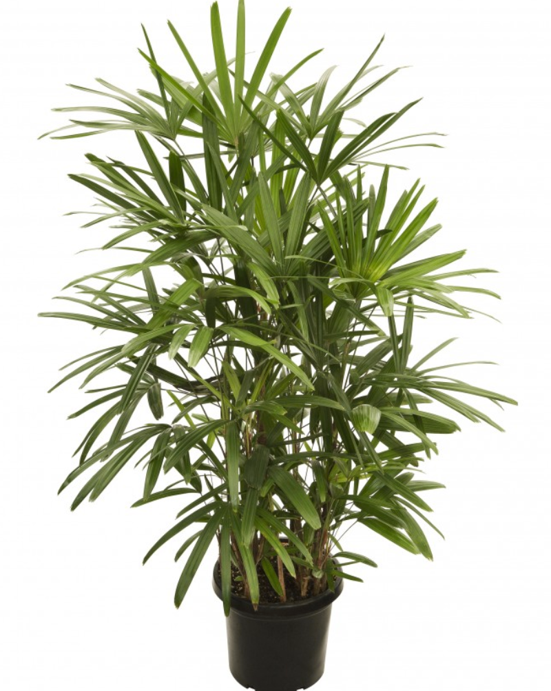 "Greenery Australia's Rhapis Excelsa also know as ""The Lady Palm"" available in 250mm,300mm and 400mm pots."