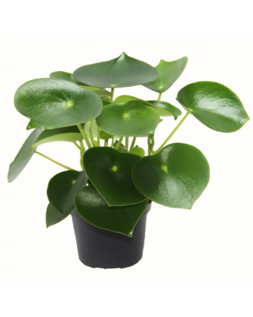 "Greenery Australia's Peperomia Polybotrya also known as ""The Raindrop Plant"". green glossy heart shape leaves available in Pot Size 12cm."