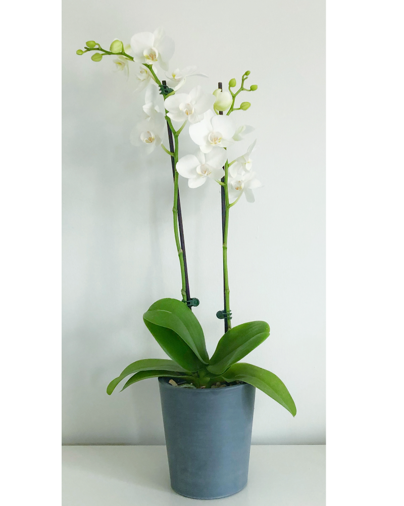 "Greenery Australia's Phalaenopsis orchids also know as ""The Moth Orchid"". Pot Size 120mm"