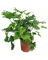 Greenery Australia's Philodendron Hope is a very popular indoor plant. The extra-large elephant like ears with super green and glossy feathered leaves create an exotic jungle look. Pot size 240mm & 300mm.