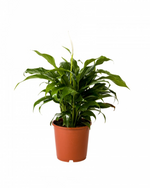 "Greenery Australia's Spathiphyllum also know as ""The Peace Lily"" very popular indoor plant. It's dense glossy foliage brigs great colour to the room. Pot size 190mm and 240mm."
