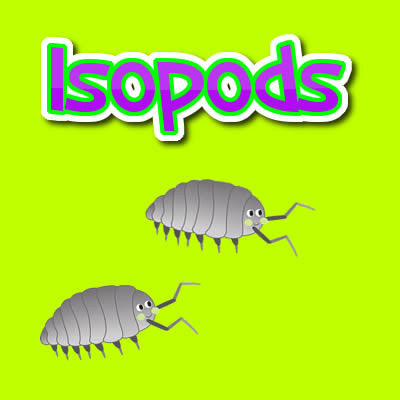 Isopods  (Also known as Pill Bugs - Roly Polys - Sow Bugs)