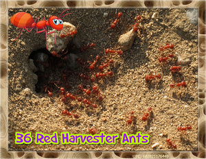 36 Healthy Red Harvester Ants