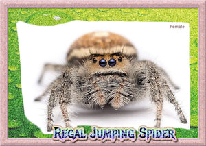 Female Regal Jumping Spider (Phiddipus regius) + Complete Habitat & Feeder Insects
