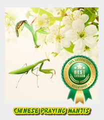 Chinese Praying Mantis-Button