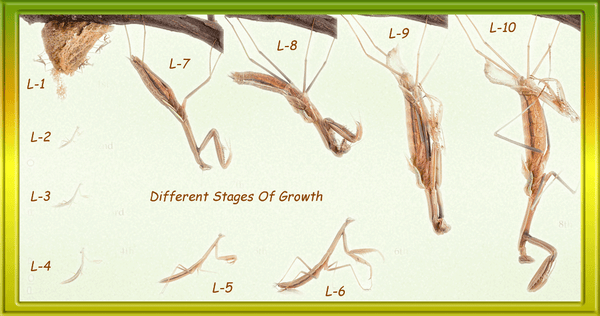 Growth stages of Praying Mantis