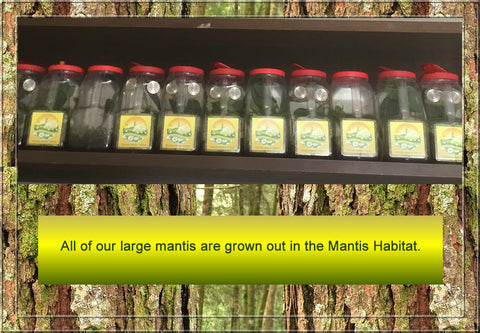Praying Mantis Habitat