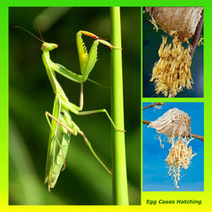 Chinese Mantis Ootheca Kit