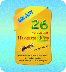 Active Harvester Ants For Ant Farms