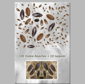 Dubia Roaches 100+ Starter Colony~~Adults & Nymphs + 10 Free Big Isopods & Bran