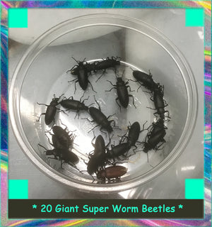 20 Giant Super Worm Beetles (zophobas morio) Young Breeders - Colony Starters