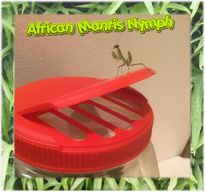 African Praying Mantis L-4 to L-5 stage.  Educational and Easy To Care For Pet- Gets Big!