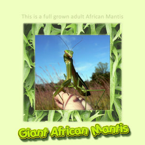 Giant African Praying Mantis ( L-6 to L-7 Size) - Educational and Easy To Care For Pet- Gets Big!