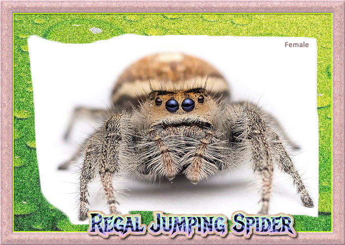 Female Regal Jumping Spider + Complete Habitat & Feeder Insects
