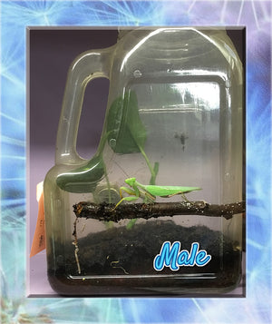 Adult Male and Female African Mantis - - Breeding Stage + Free Feeder Roaches