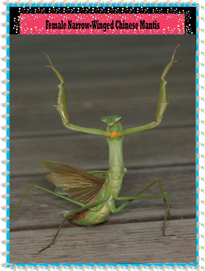 Narrow winged Chinese Praying Mantis (LIVE) -- (Educational or Insect Control) -- L 4 to L 5