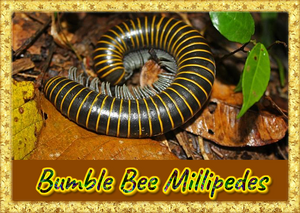 Bumble Bee Millipede (Anadenobolus monilicornis) Educational & Fun Easy to Keep