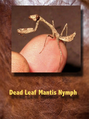 Dead Leaf Mantis Nymph (Deroplatys desiccata) Rare And Interesting They Get Big