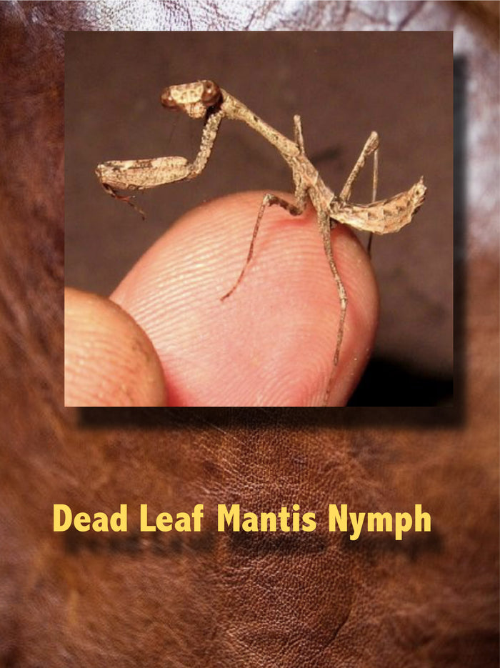 Dead Leaf Mantis Nymph (Deroplatys lobata) Rare And Interesting They Get Big