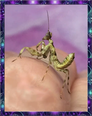 Indian Jeweled Flower Mantis (Creobroter pictipennis)-Free flies-Educational and FUN!