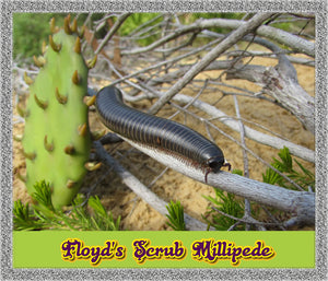 Rare Floyd's Scrub Millipede (Floridobolus floydi) With Habitat-Educational Fun Pet!