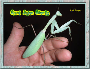 Giant Asian Mantis Nymphs L5 to L6  These Guys Get Big! + Free Fruit Flies