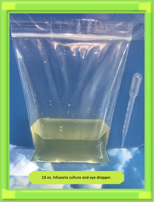 INFUSORIA .. Fresh Large 10 oz Active Culture .. Live food for tiny fry-betta fry.