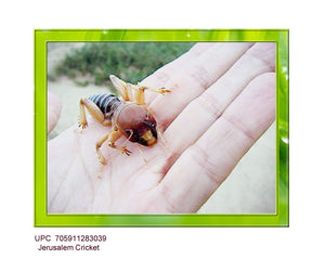 Jerusalem Cricket (Stenopelmatus Fuscus) Called Child Of The Earth - Very Rare