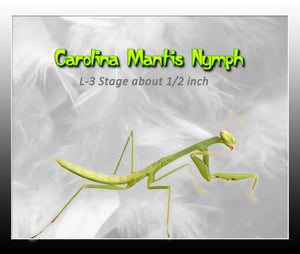 Carolina Praying Mantis Nymph-L6 - L7 ***  Educational and Fun