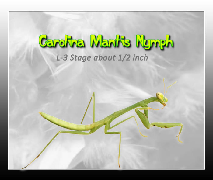 Carolina Praying Mantis Nymph-L5-6  ***  Educational and Fun