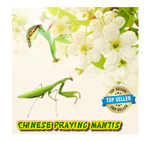Chinese Praying Mantis (LIVE) + FREE Fruit Flies & Kit (Educational or Insect Control)