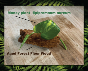 Forest Floor Wood And Marble Queen Pothos Plant *** Perfect For Insect Habitats