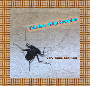 Tail-less Whip Scorpion - Harmless and Tame - Fun Pet - Educational - Easy Care