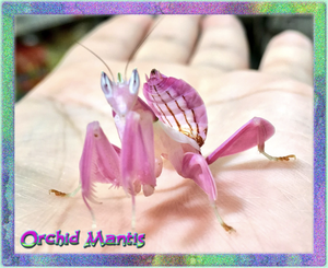 Orchid Mantis (Hymenopus coronatus) Nymph --  Fun & Educational