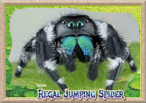 Male Regal Jumping Spider + Complete Habitat & Feeder Insects