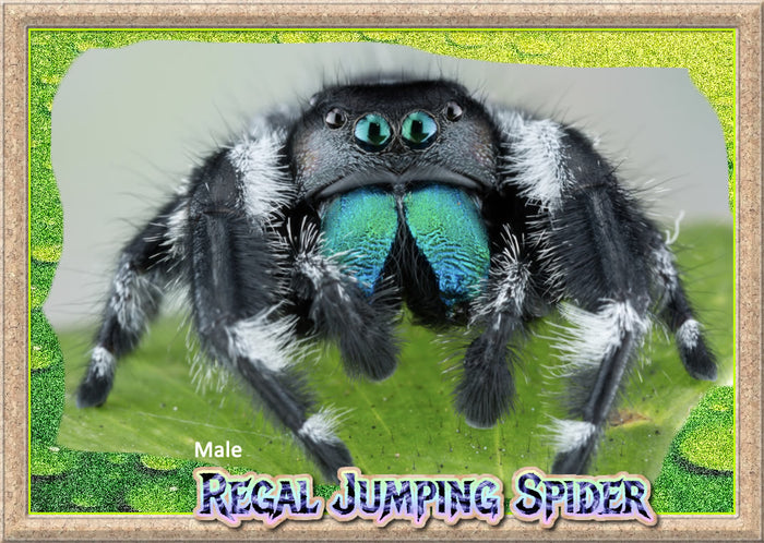 Sub Adult Male Regal Jumping Spider + Complete Habitat & Feeder Insects