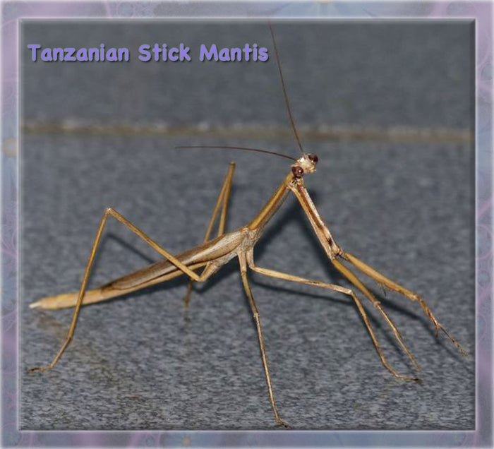 Tanzanian Stick Mantis (Danuria Sp) L-4 to L-5 Not often seen on the pet market.