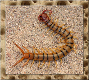 Live Tiger Centipede (S. polymorpha) Interesting Colorful Pet -Educational