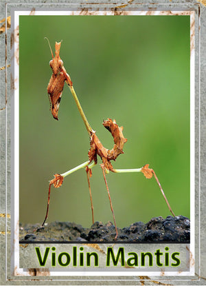 Violin Mantis (Gongylus gongylodes) Rare and Awesome - Easy Care