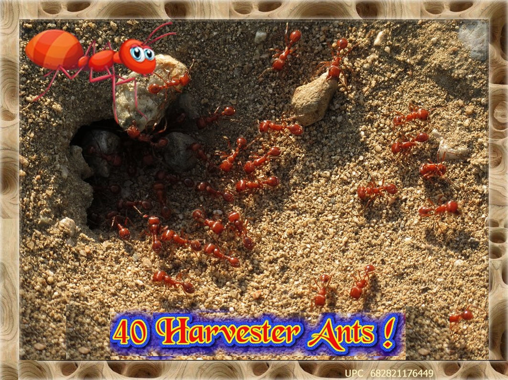 LIVE ANTS *40* Active Western Harvester Ants For Ant Farms + Free Ant Food